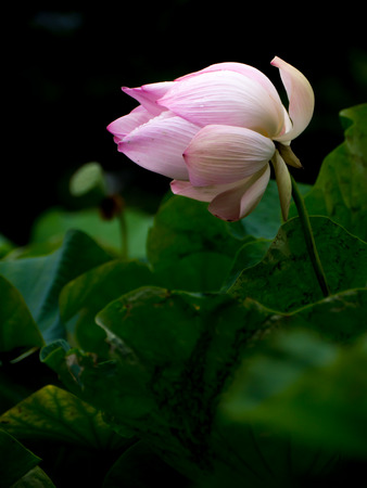 Pink lotus flower and green leaves in natural pond Stock Photo