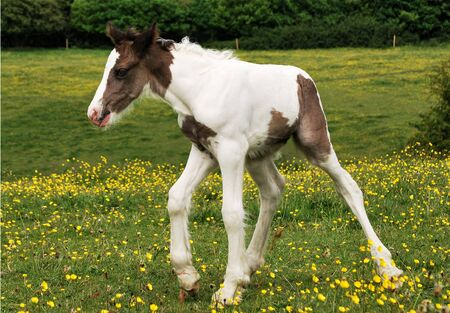 Foal staggers as she learns to walk