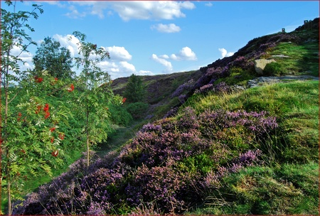 Moorland hillside featuring rowan and heather in sunshine against a blue sky.