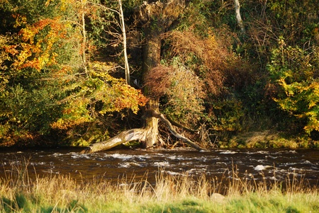 River Bank featuring tree roots and glorious autumn colours with fast flowing water.