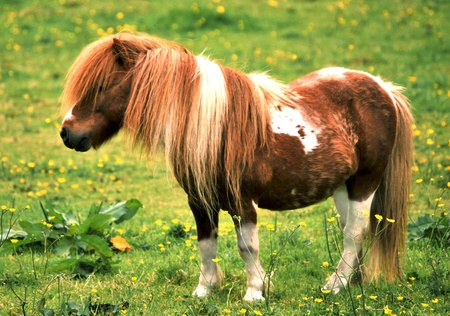 A Shetland Pony in a field of Buttercups.