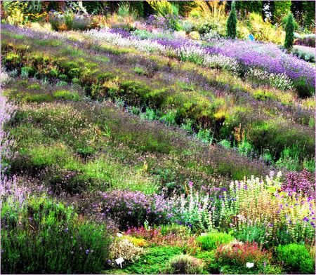 A field of cultivated lavender in late summer.