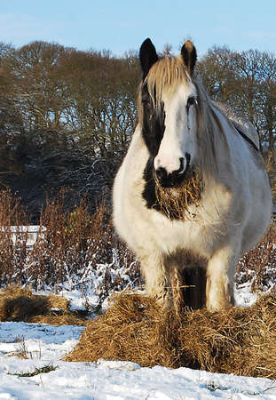 A mare in a winter scene eating hay provided by her owner.