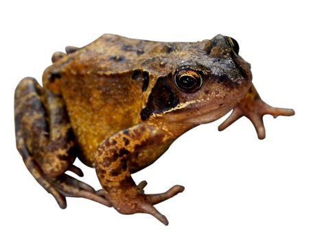 A brown frog with focus on the eye and shallow depth of field isolated on a white background. Stock Photo
