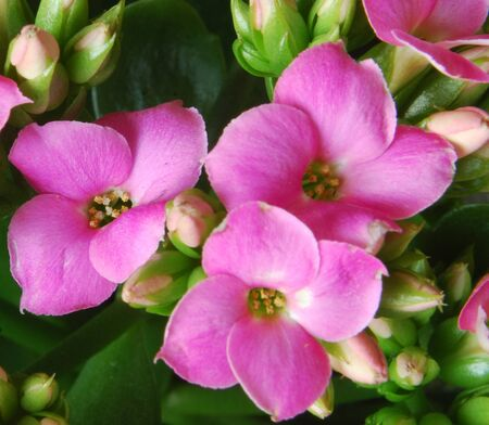 A trio of beautiful Kalanchoe Flowers