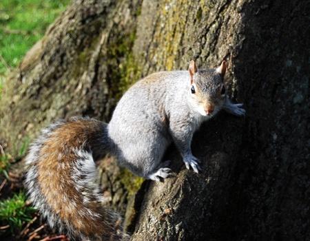 Grey Squirrel Alert on A Tree Trunk.
