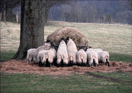 Sheep Feeding from a Hay Bale in early Spring  Stock Photo
