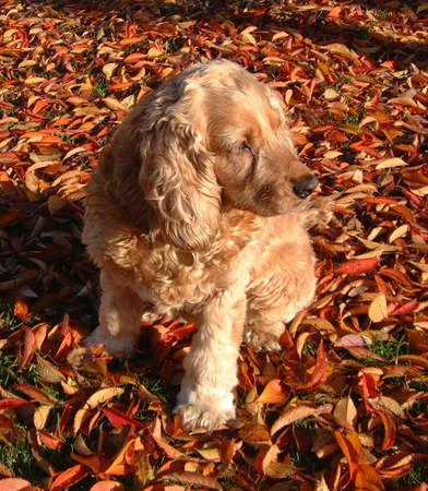 A mature Golden Cocker Spaniel on a bed of Autumn Leaves