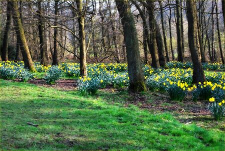 Woodland Waking to Springtime with Daffodils