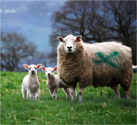 A ewe proudly posing for the camera with her two new lambs.