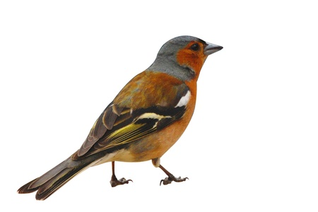 A young but mature chaffinch in characteristic pose isolated on a white background