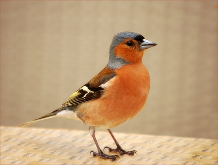 A young but mature chaffinch in a suburban setting. Stock Photo