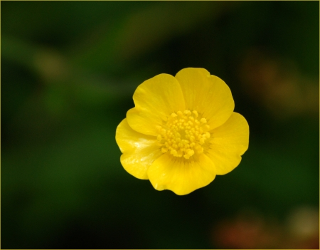 A single buttercup against an unfocused meadowland background