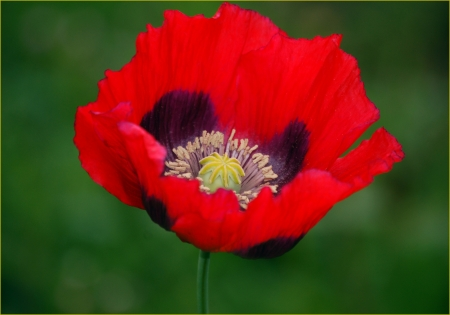 A Single Red Poppy on a Green Background photo
