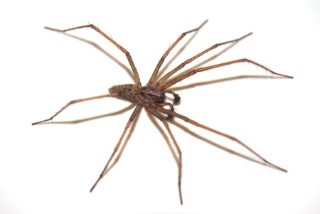 A brown spider with its shadow on a white background