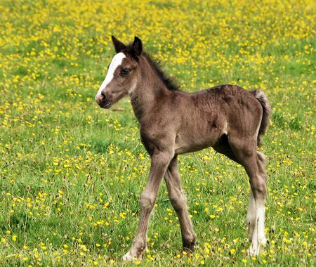 A Foal In Spring Sunshine Trotting In A Field Of Buttercups