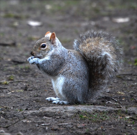 A young grey squirrel posing for the camera in springtime