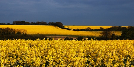A panorama of rape seed photographed at dusk on a July evening in 2010
