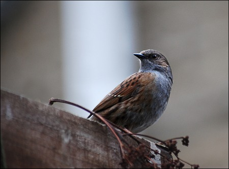 Dunnock, Prunella Modularis, perched on trellis.