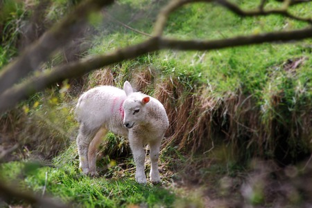 A lamb has strayed into a roadside gulley surrounded by trees and undergrowth.