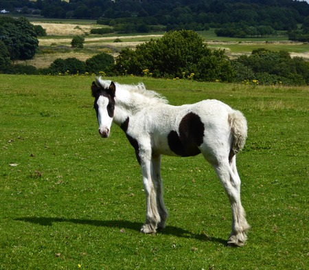 A beautiful leggy skewbald foal posing in glorious summer countryside. Stock Photo