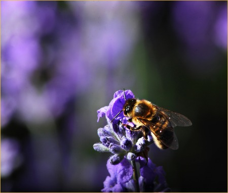 A bee on a heather blossom against a bokeh background. Stock Photo