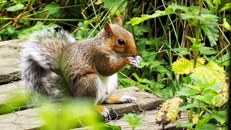 A young squirrel in classic nut eating pose. Stock Photo