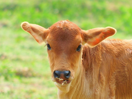 A Indian baby cow