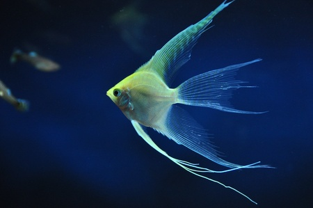 yellow angelfish Stock Photo - 17318196