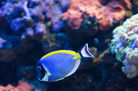 surgeonfish: Powder Blue Surgeonfish Stock Photo