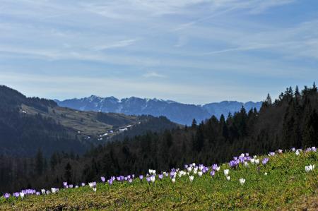 Blumen im Frühjahr Berge amouncing ist in der Nähe von Standard-Bild - 55499926