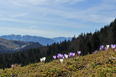 Flowers in the mountains amouncing spring is near