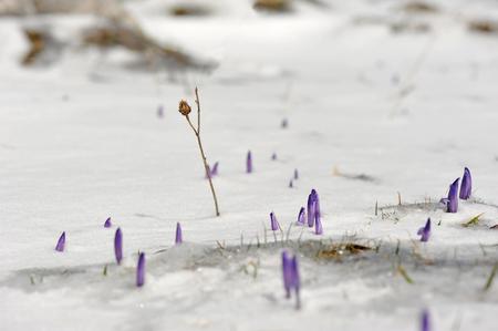Blumen im Frühjahr Berge amouncing ist in der Nähe von Standard-Bild - 55500082