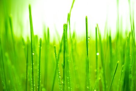Germinated wheatgrass sees with dew, Wheatgrass is the freshly sprouted first leaves of the common wheat plant. Stock fotó