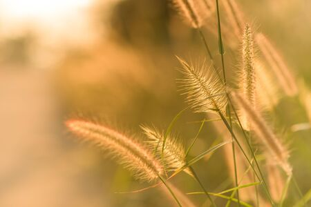 Fountain grass with beautiful sunset