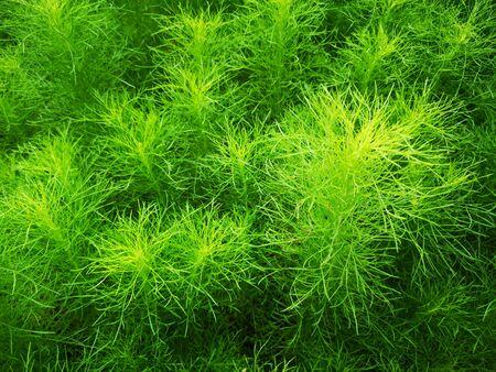 Beautiful green grass plant. Beautiful green grass texture.