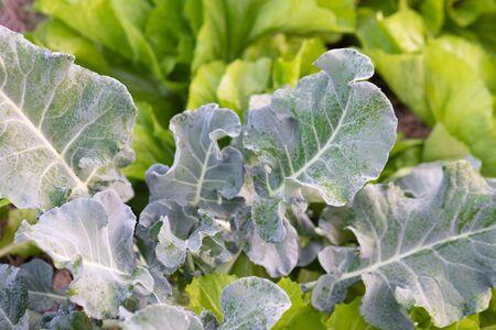 Fresh organic vegetable in garden
