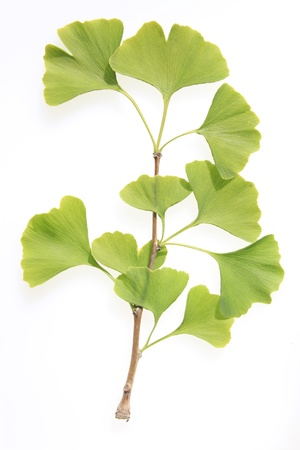 branch of a Ginkgo tree with green leaves photo