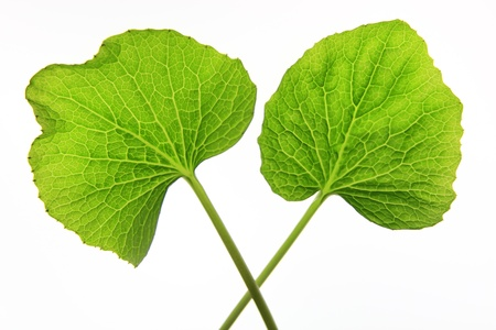 two teaves of japanese horse-radish wasabi on white background Stock Photo