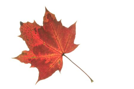 polychrome: colorful autumn leaf on white background