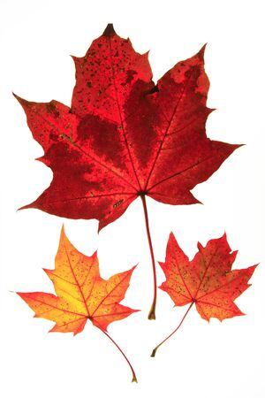 polychrome: colorful autumn leaves on white background