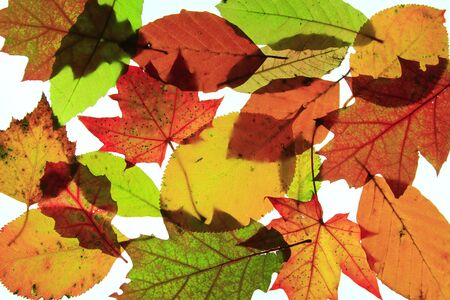 polychrome: colorful autumn leaves before white background