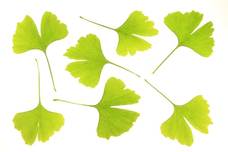 gingko: leaves of ginkgo biloba