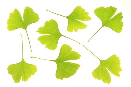 ginkgo: leaves of ginkgo biloba