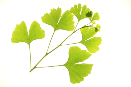sprig of ginkgo biloba photo