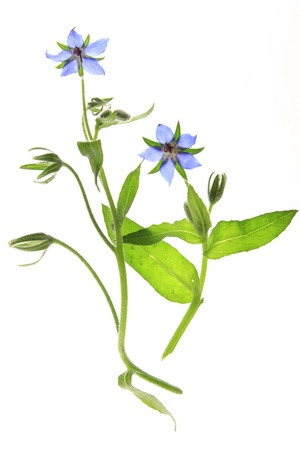 flowering borage before white background Stock Photo