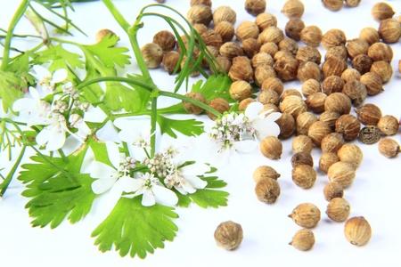 coriandrum sativum: floraci�n ramita de cilantro y cilantro condimentos