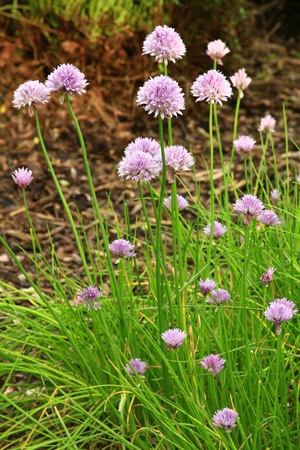 blooming chive in the garden photo