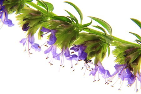 flowering hyssop against a white background