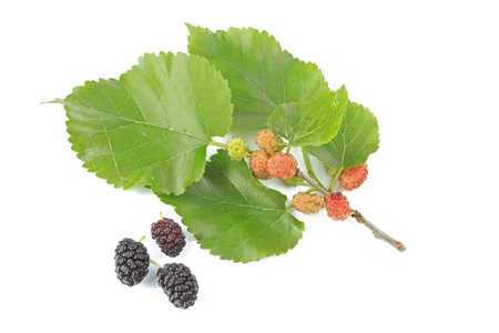 A little twig and ripe and unripe fruits of the mulberry tree, before a white background